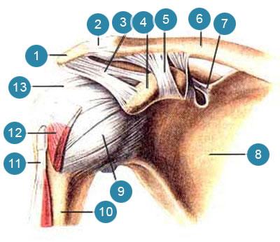 Акромиально-ключичный суcтав (articulatio acromio-clavicularis) и плечевой суставы (articulatio humeri)