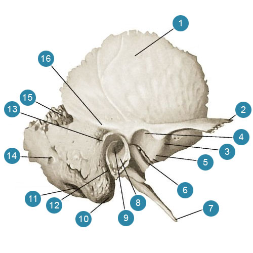 Височная кость, (os temporale)  Наружная поверхность. Вид справа