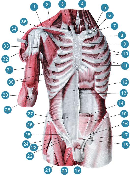 Глубокие мышцы груди и живота