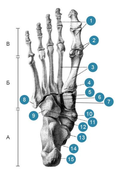 Кости стопы (ossa pedis)  Подошвенная сторона (вид снизу)