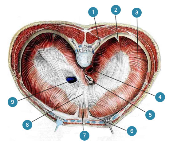 Диафрагма (diaphragma)