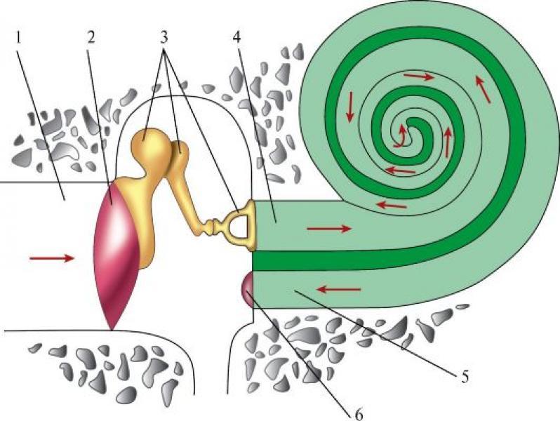 Пути распространения звука в органе слуха (показаны стрелками)