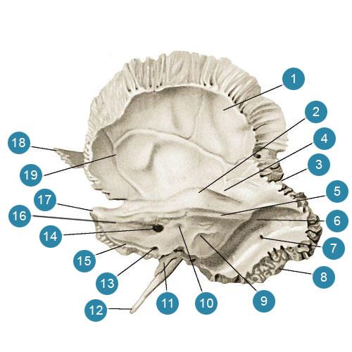 Височная кость (os temporale)  Внутренняя поверхность