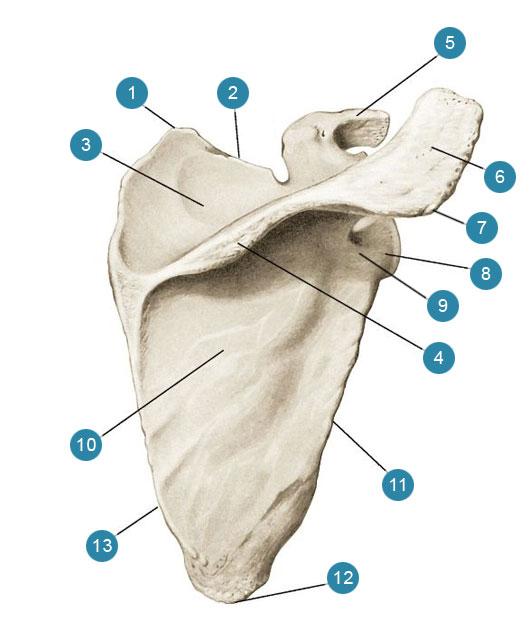 Лопатка (scapula) вид сзади