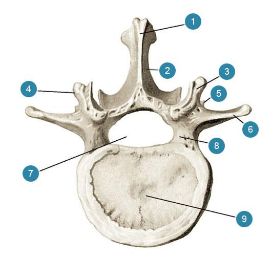 Поясничный позвонок (vertebra lumbalis)  Вид сверху