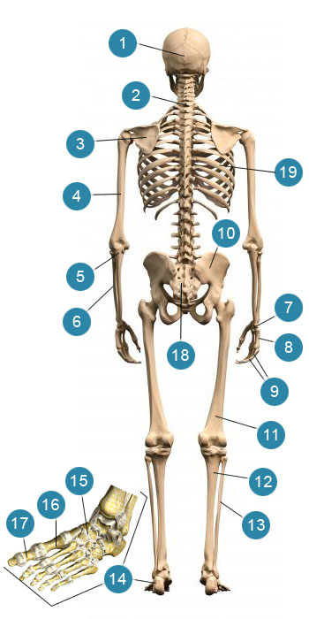 Скелет человека  Вид сзади.