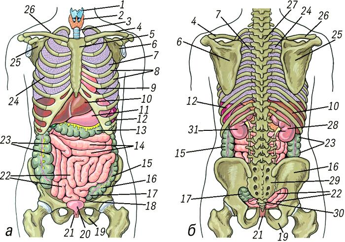 Картинки строение человека внутренние органы