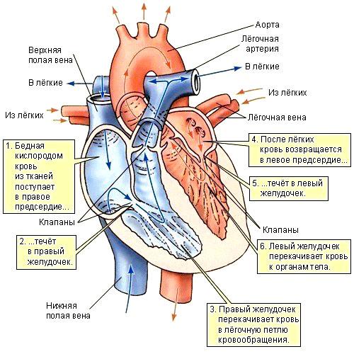 Как работает человеческое сердце и кровеносная система человека