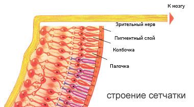 Строение сетчатки  Сетчатка  Анатомия глаза  Главная